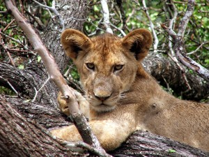Lion Cub for web